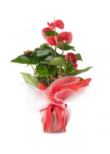 CANLI ANTORYUM BİTKİSİ - ısparta çiçek gönder