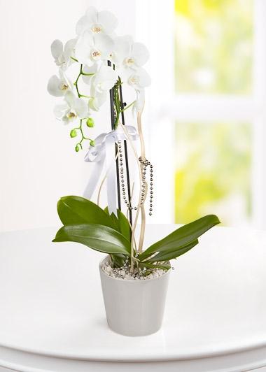 TEK DALLI BEYAZ ORKİDE - ısparta çiçek