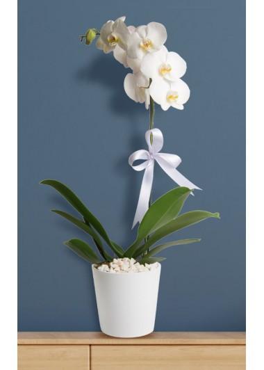 TEK DALLI ORKİDE - ısparta çiçekçi