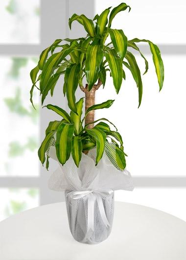 DRACENA MASSENGENA - ısparta çiçekçim