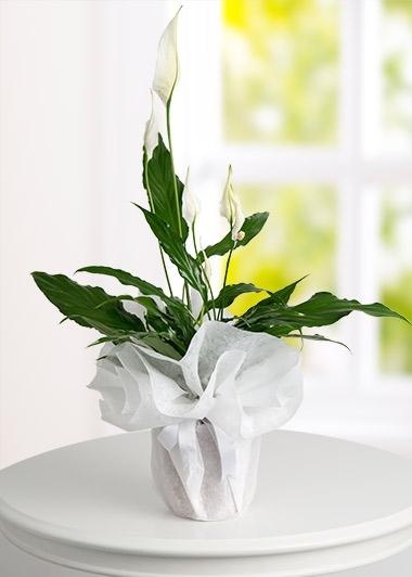 SPATİFİLYUM BARIŞ ÇİÇEĞİ - ısparta çiçekçiler