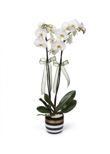 GOLD ÇİZGİLİ VAZODA 2 DAL ORKİDE - ısparta çiçek